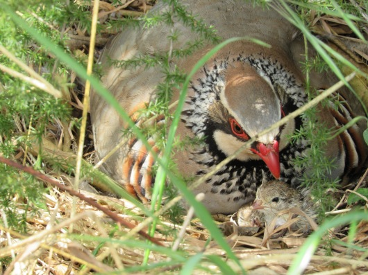 two baby partridges_HQ